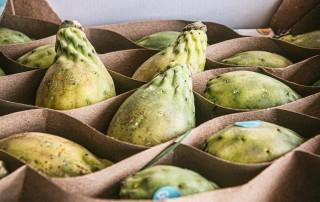 φραγκόσυκο,fragosiko,prickle pear,cactus fig,nature'sfresh,horeca,χονδρική,τροφοδοσία