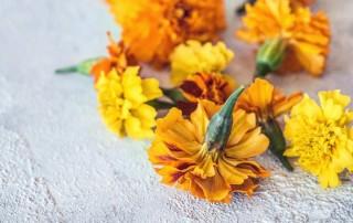 κατιφές, βρώσιμο λουλούδι,tagette,mari gold