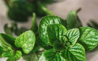 μέντα,mint,nature's fresh,horeca,χονδρική