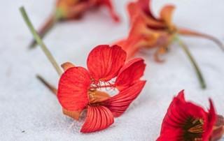 λουλούδι καπουτσίνο,naturtium flower,loyloydi kapoytsino,nature's fresh,horeca,χονδρική,τροφοδοσία